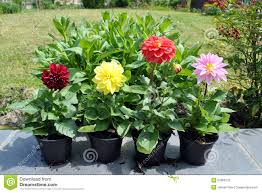 dalia in vaso dahlia flowers at the garden stock photo image of asteraceae