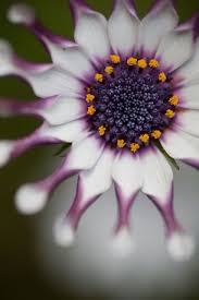 Pretty Types Of Flowers - 67 best african daisies images on pinterest flowers plants and