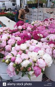 peonies for sale peonies for sale at union square market in new york city stock