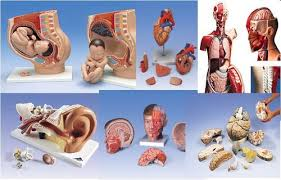 Anatomy And Physiology Place Anatomy U0026 Physiology Models In Bhikaji Cama Place New Delhi