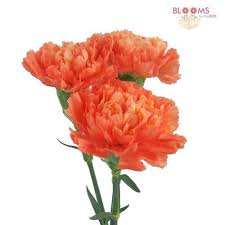 wholesale carnations carnations orange fancy carnation