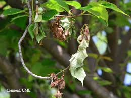 brown rot on ornamental cherries trees of maryland