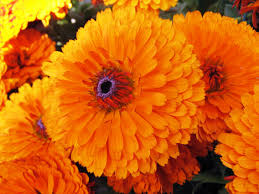 pictures of calendula flowers october birth flower tattoos