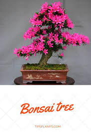 japanese art of growing a miniature tree symbolism and meaning