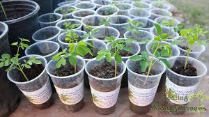 bulk moringa trees value pack