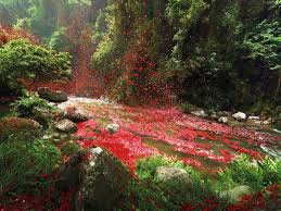volcano flowers flower petals explode like a volcano town in costa rica