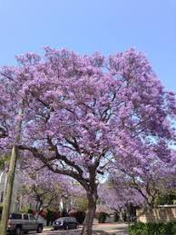 Tree With Purple Flowers Best Places To See Jacarandas In Bloom In Los Angeles