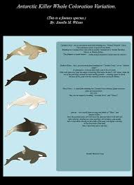 adopt antarctic killer whale coloration variation by