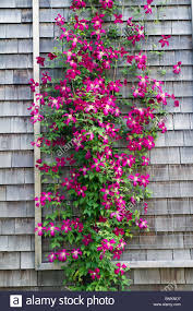 climbing flowers for trellis home design inspirations