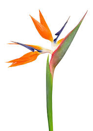 Bird Of Paradise Flower Bird Of Paradise Pictures Images And Stock Photos Istock