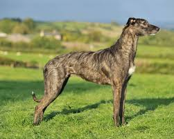 belgian shepherd gumtree lurcher dogs and puppies for sale in the uk pets4homes