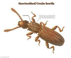 Tiny Brown Bug In Bathroom Common Stored Product Pests United Exterminating Company