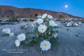 moon flowers moonflowers desert wildflowers at history
