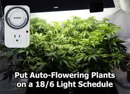 best light schedule for auto flowering strains grow weed easy
