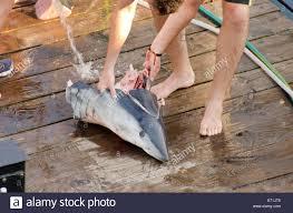 usa massachusetts martha u0027s vineyard shark fishing shortfin