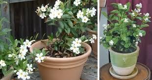 Fragrant Jasmine Plant - how many type of jasmine flower u know every of them has unique