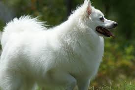 american eskimo dog 101 american eskimo dog pictures and informations dog breeds com