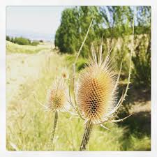 teasel used for lyme disease i heard a story of many home