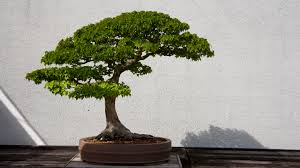 bonsai tree hd wallpapers 4k