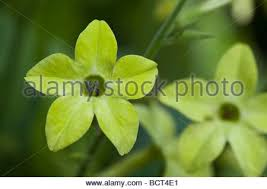 Lime Green Flowers - nicotiana lime green annual flower flowers flowering bedding
