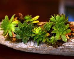 planter for succulents driftwood succulent planter rachel teodoro