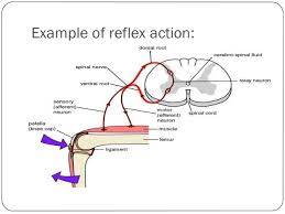 What Is A Reflex Action Example Animal Behavior Powerpoint