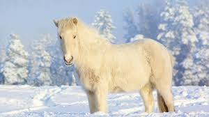 animals horses snow white iceland horse animals winter landscapes
