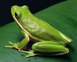 green tree frog care alsip home nursery