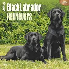 booktopia labrador retrievers black 2016 wall calendar by inc