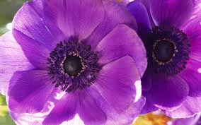 purple poppy images reverse search