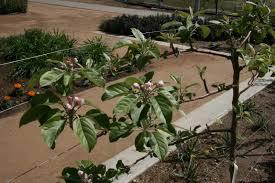 apple tree trellis u2013spring update uc davis good life garden