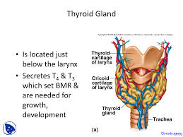 Human Anatomy Thyroid Thyroid Gland Physiology And Anatomy Lecture Slides