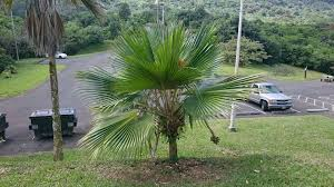what is a non native plant pritchardia id discussing palm trees worldwide palmtalk