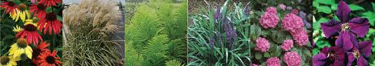 perennials ornamental grasses hardy ferns