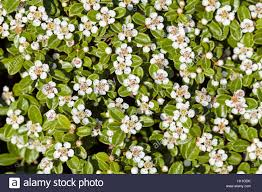 Shrub Small White Flowers - bush with small white flowers on a branches note shallow depth of