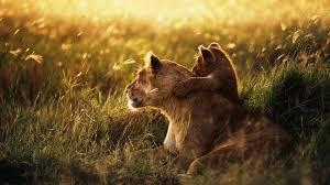 lion wallpapers reuun com