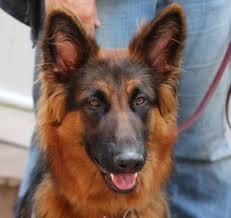 belgian sheepdog for sale in michigan hanabrit german shepherd dogs
