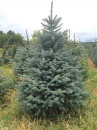 blue spruce tree decorated cheminee website