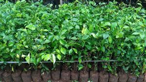 Teh Tehan jual pohon teh tehan jual tanaman teh tehan jual tanaman hias
