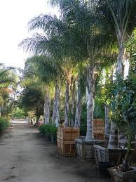 large specimen palm trees and cycads