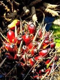 Palm Trees Fruit - palm tree fruit