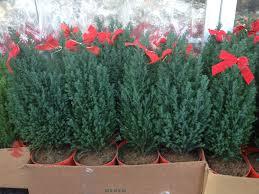splendi pottedhristmas tree live trees delivered for
