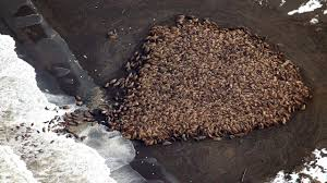 35 000 walruses gather on alaska beach
