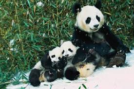 10 facts pandas national geographic kids