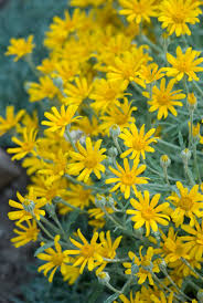 native plant nursery oregon oregon sunshine eriophyllum lanatum blackfoot native plants