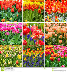 keukenhof flower gardens tulips collage keukenhof flower garden park netherlands holla