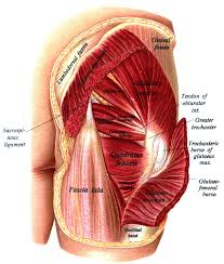 Anatomy Of Body Muscles Gluteal Region Anatomy And Significance Bone And Spine