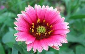 pink flower file pink flower jpg wikimedia commons