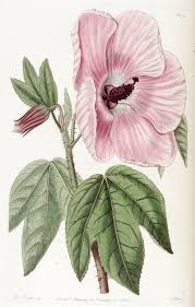 plants native to hawaii 220 best hollyhocks and other mallows images on pinterest