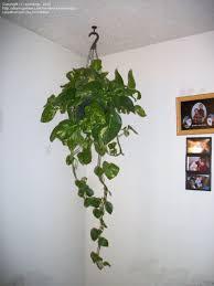 full size picture of devil u0027s ivy golden pothos centipede vine